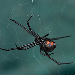 Image for Black Widow Spiders