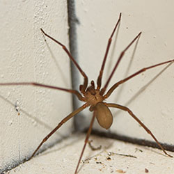 Image for Brown Recluse Spiders