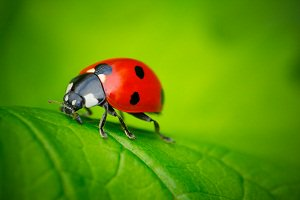 Lady Bug Alive Thanks To Eco-Friendly Pest Control