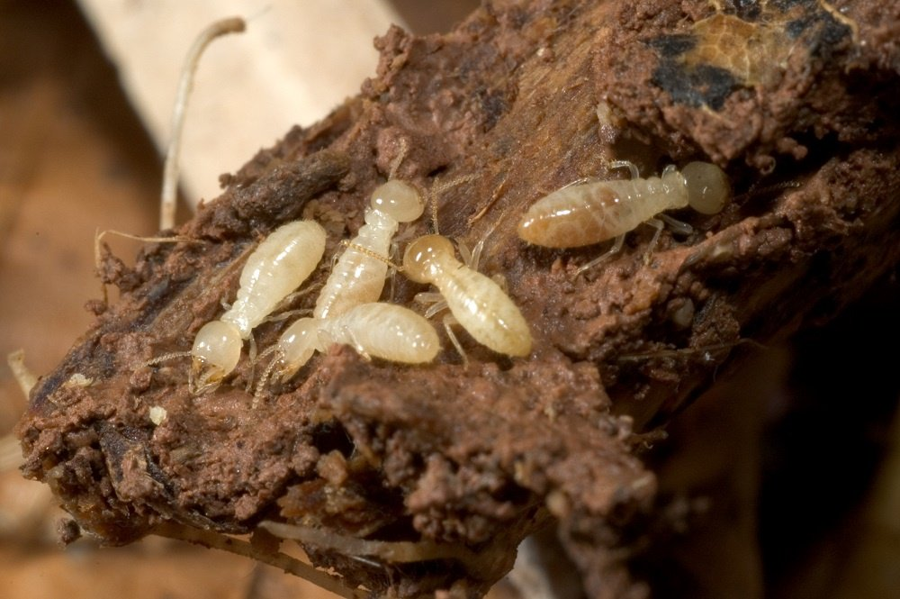 Termite Larvae