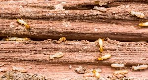 Termite Colony On Wood