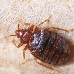 Image for Bed Bugs