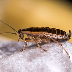 Image for German Cockroaches