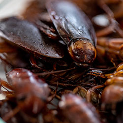 Image for Smokybrown Cockroaches