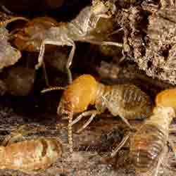Image for Termites