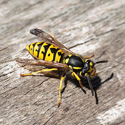 Image for Wasps