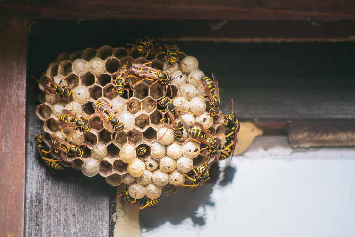 Wasps Making Their Nest In The Corner Of A Home