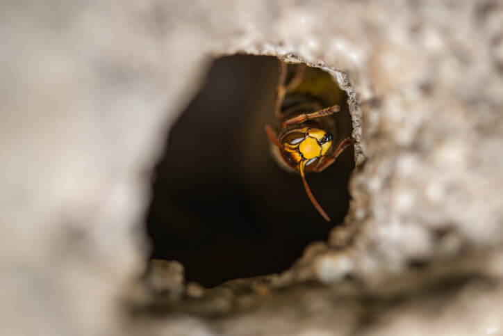 Wasp Inside Nest
