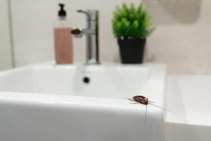 Cockroach Near Sink Drain