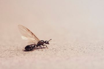 Image for 4 Tips For Getting Rid Of Ants With Wings