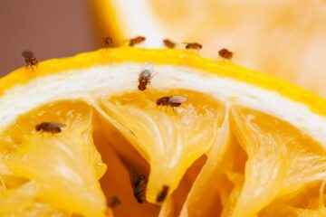 Image for How To Prevent Fruit Flies