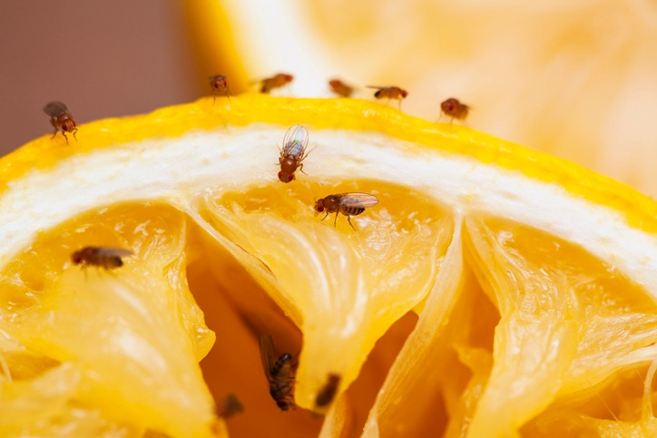 Fruit Flies On Some Fruit