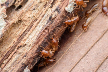 Image for Everything You Need To Know About Termites